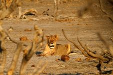 Free African Lion Plains Predator Royalty Free Stock Photography - 36461627
