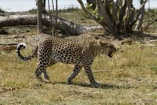 Free African Leopard Snarling Royalty Free Stock Photo - 36461845