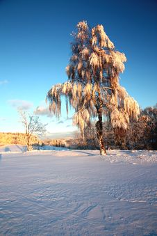 Birch Trees In Winter Stock Image