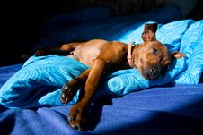 Free Miniature Pinscher Royalty Free Stock Photo - 36468045