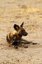 Free African Wild Dog Resting Royalty Free Stock Photos - 36475238