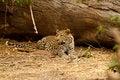 Free Dream Catcher Leopard Stock Photo - 36475510
