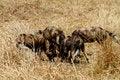 Free African Wild Dog Pack Feeding Royalty Free Stock Photo - 36476475