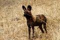 Free Superb Specimen Of An African Wild Dog Stock Image - 36476991