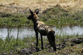 Free African Wild Dog Royalty Free Stock Image - 36477696