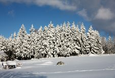 Free Spruce Trees Covered In Snow Stock Photography - 36472272