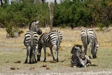 Herd Of Burchells Zebra Royalty Free Stock Image