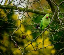 Free Ring Necked Parakeet Royalty Free Stock Images - 36472769