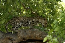 Leopards Tree Balancing Act Stock Photography