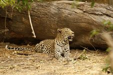 Free Shady Leopard Stock Photo - 36475590