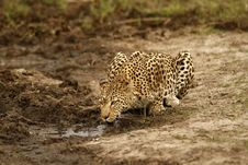 Free Leopard Drinking Stock Image - 36475741