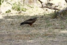 Free Yellow-billed Kite Scavenger Royalty Free Stock Images - 36476389