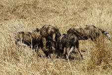 Free African Wild Dog Pack Feeding Royalty Free Stock Photo - 36476475