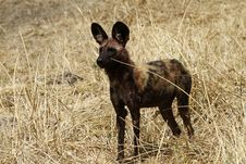 Free Superb Specimen Of An African Wild Dog Stock Image - 36476991