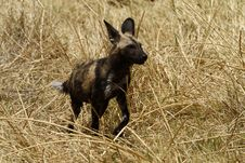 Free Hunting African Wild Dog Royalty Free Stock Photos - 36477358