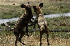 Free African Wild Dogs Playing Royalty Free Stock Image - 36477436
