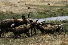 Free African Wild Dog Puppies Feed Time Stock Photo - 36477500