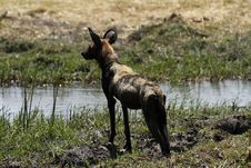 Free African Wild Dog Royalty Free Stock Image - 36477696