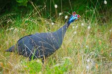 Free Guineafowl Bird Stock Photo - 36478980