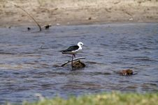 Free Black-winged Stilt Stock Photo - 36479160