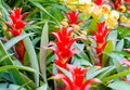Free Red Bromeliad Rosette Shape Flowers In Bloom In Springtime Stock Image - 36485771