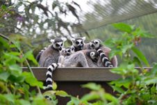 Free Ring Tailed Lemurs Royalty Free Stock Photos - 36480398