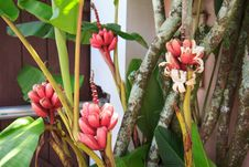 Free Small Red Bananas On Tree Stock Photos - 36483163