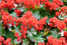 Free Big Begonia Royalty Free Stock Image - 36485676