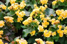 Free Yellow Color Begonia Stock Photo - 36485710
