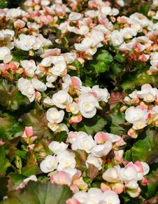 Free Begonia Flowers Royalty Free Stock Image - 36485746