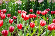 Free Tulips Field In Spring Time Stock Photo - 36485810