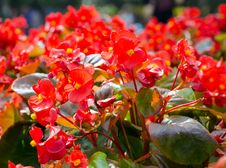 Free Red African Tulip Tree &x28;Spathodea Campanulata&x29; Stock Photography - 36485912
