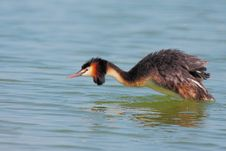 Great Crested Grebe &x28;Podiceps Cristatus&x29;. Stock Photos