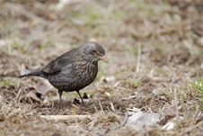 Free Common Blackbird &x28;Turdus Merula&x29;. Stock Images - 36488934