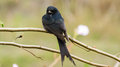 Free Black Drongo Bird On Brach, Macrocercus Royalty Free Stock Photos - 36492998