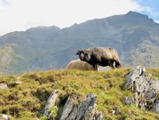 Free Black Sheep In  The Mountains Royalty Free Stock Photos - 36490128
