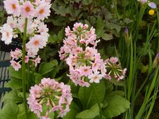 Free Pink Primula Flowers Royalty Free Stock Images - 36491749