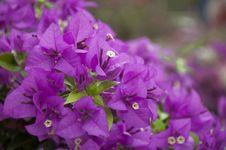 Free Magenta Flors Stock Photo - 36492920