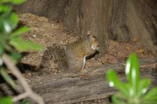 Free Brown Squirrel 3 Stock Images - 36493054