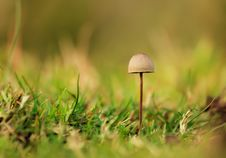 Free Mushroom Royalty Free Stock Photography - 36497697
