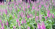 Free Purple Spiked Speedwell And Blurred Backyard Lush Green Grass Royalty Free Stock Photography - 36498647