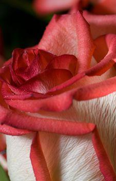 Free Red Rose Close-up Shot Stock Image - 3650951