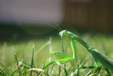 Free Praying Mantis Royalty Free Stock Images - 3652939