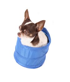 Free Chihuahua In The Basket Stock Photography - 3653112