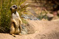 Free Watchful Meerkat Stock Photo - 3653460