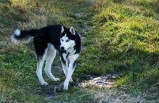 Siberian Husky On Walking Royalty Free Stock Image