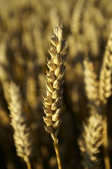 Free Wheat Stock Photography - 3654682