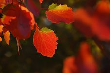 Free Red Leafs Stock Photo - 3654700