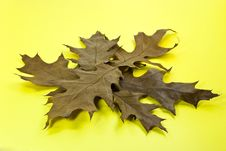 Free Dry Oak Leaves On Yellow Background Stock Photo - 3654770