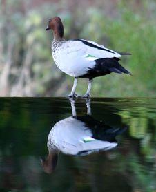 Free Bird On Water Royalty Free Stock Photo - 3654825